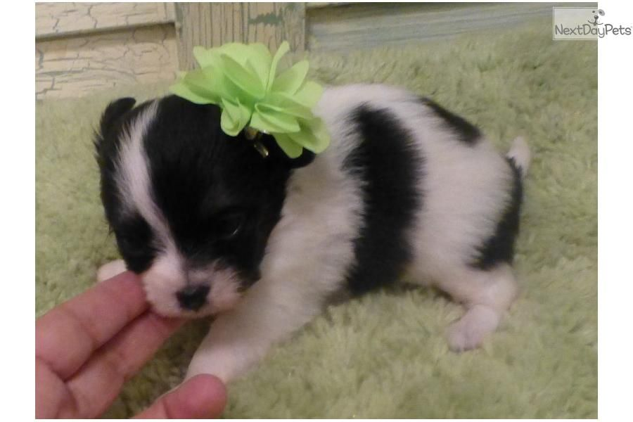 Meet Lilly A Cute Papillon Puppy For Sale For 700 Chion Baby Girl Lilly See Her On My Nextday Ad Em 2020