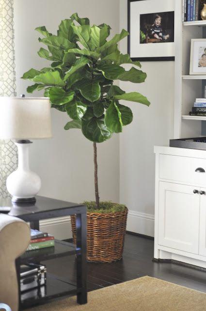 Fiddle Leaf Fig Tree via Houston Interior Plants | For the Home ...