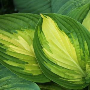 Learn Plants Hosta Varieties Hosta Gardens