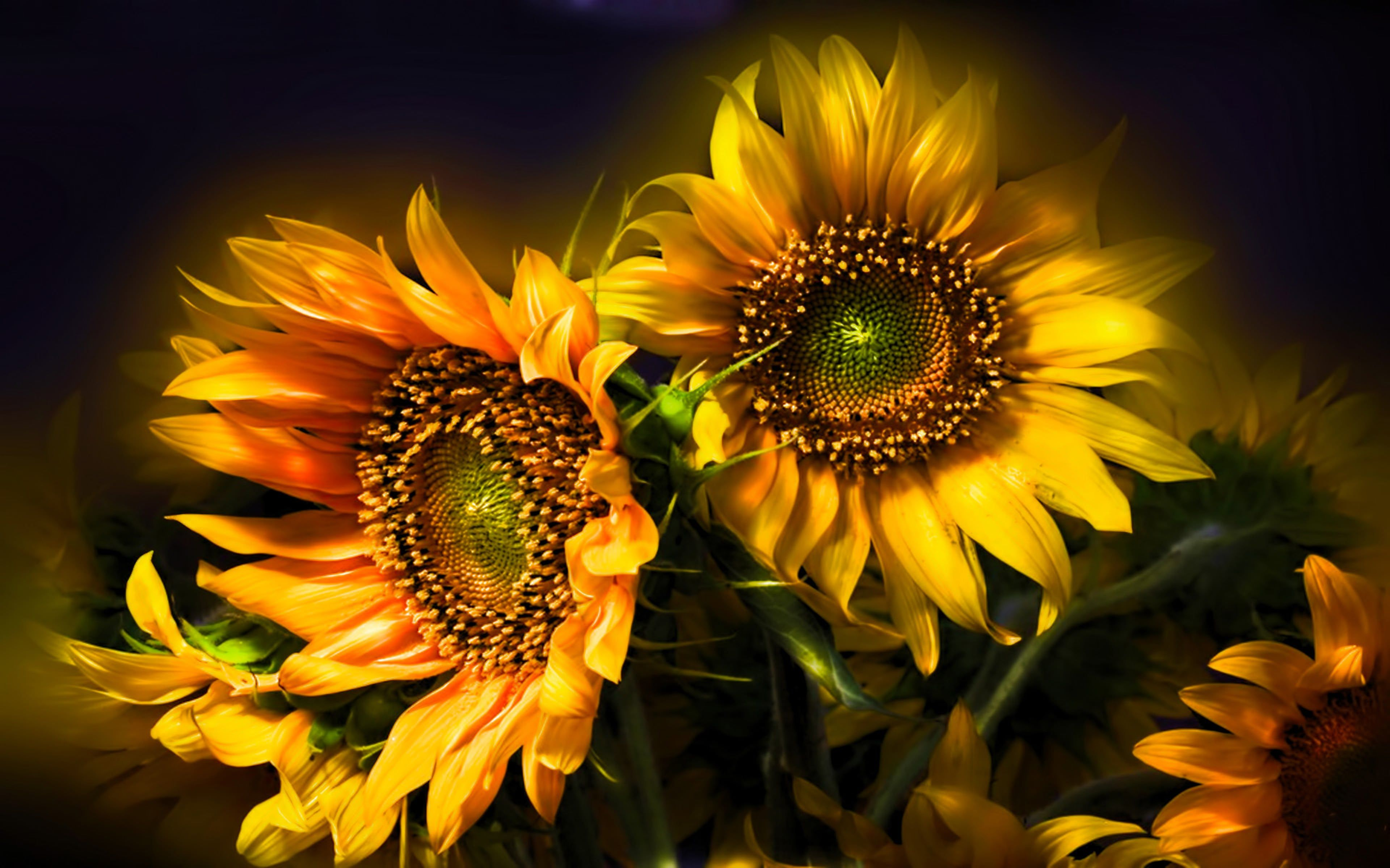 Sunflower Beautiful Abstract 4k Sunflower wallpaper