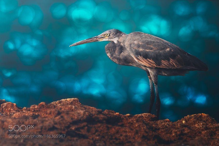 Western Reef Heron... by Sina_ps via http://ift.tt/2gCi6YL