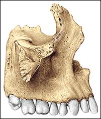 Cara Lateral Externa Del Maxilar Superior Huesos De La Cara Caras Cabeza Y Cuello
