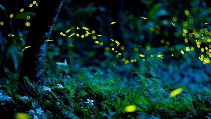 How do fireflies glow?