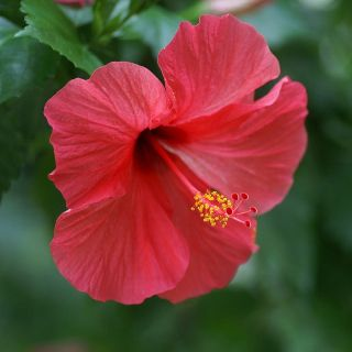 Red Hibiscus The Red Hibiscus Is Inspired By Love It Represents Outstanding Beauty And Love It Is A Symbol Of Fertility And I Hibiscus Flowers Flower Power