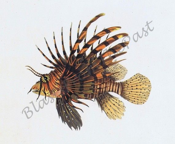 Vintage FISH print c1830 'Lionfish' Perfect by BlastsFromThePast, $10.00