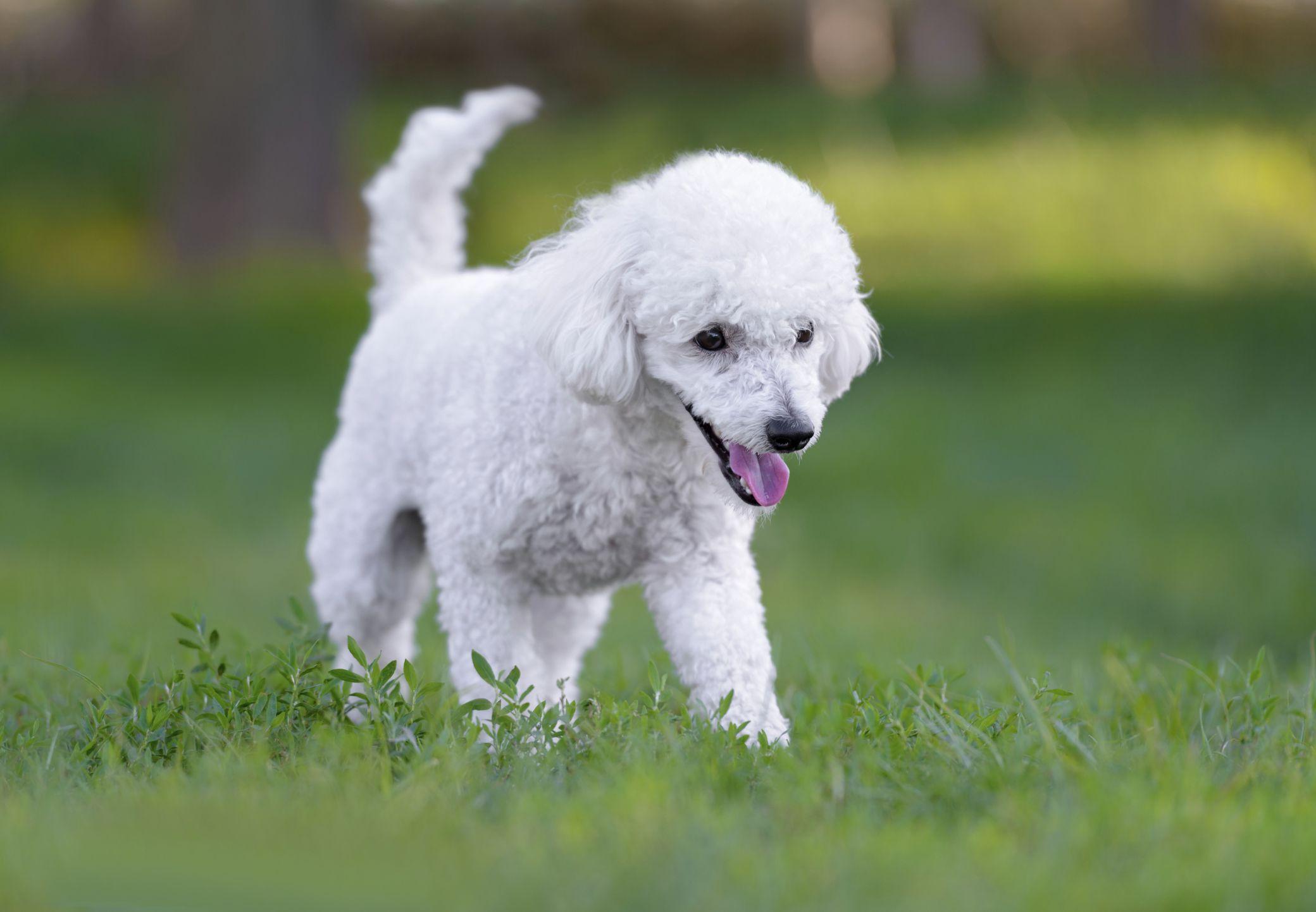 Poodle Puppy Walking On Grass Smartest Dog Breeds Dog Breeds Dogs
