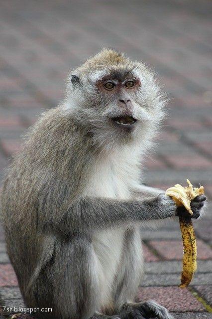 صور قرد Monkey Pictures Animals Pictures