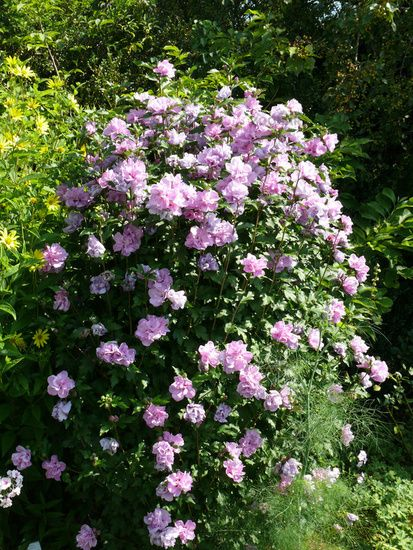 Hibiscus Syriacus Ardens Eibisch Shrub Althea Plants For