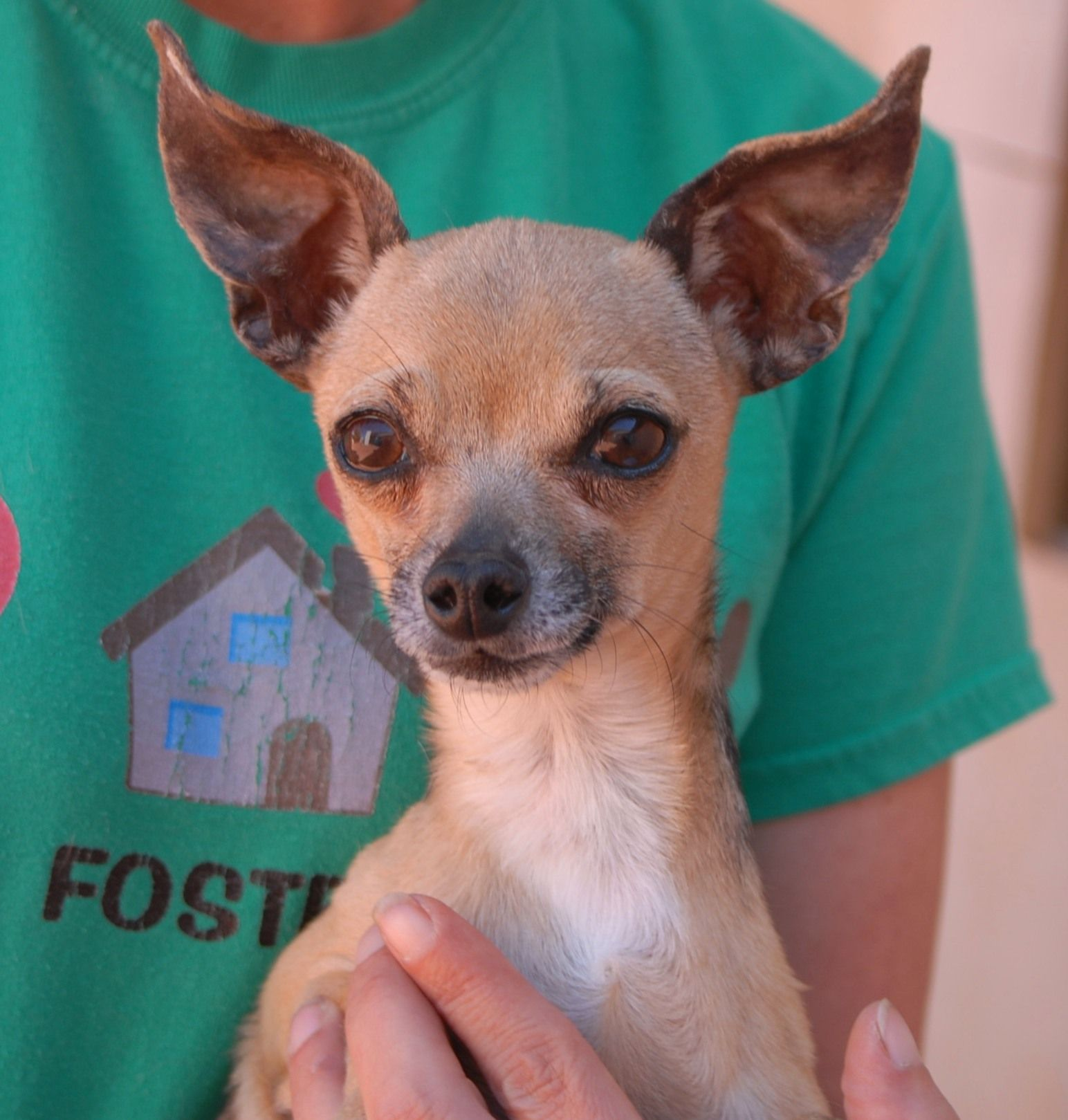 Wolfgang is a tiny, 4pound Chihuahua found injured near