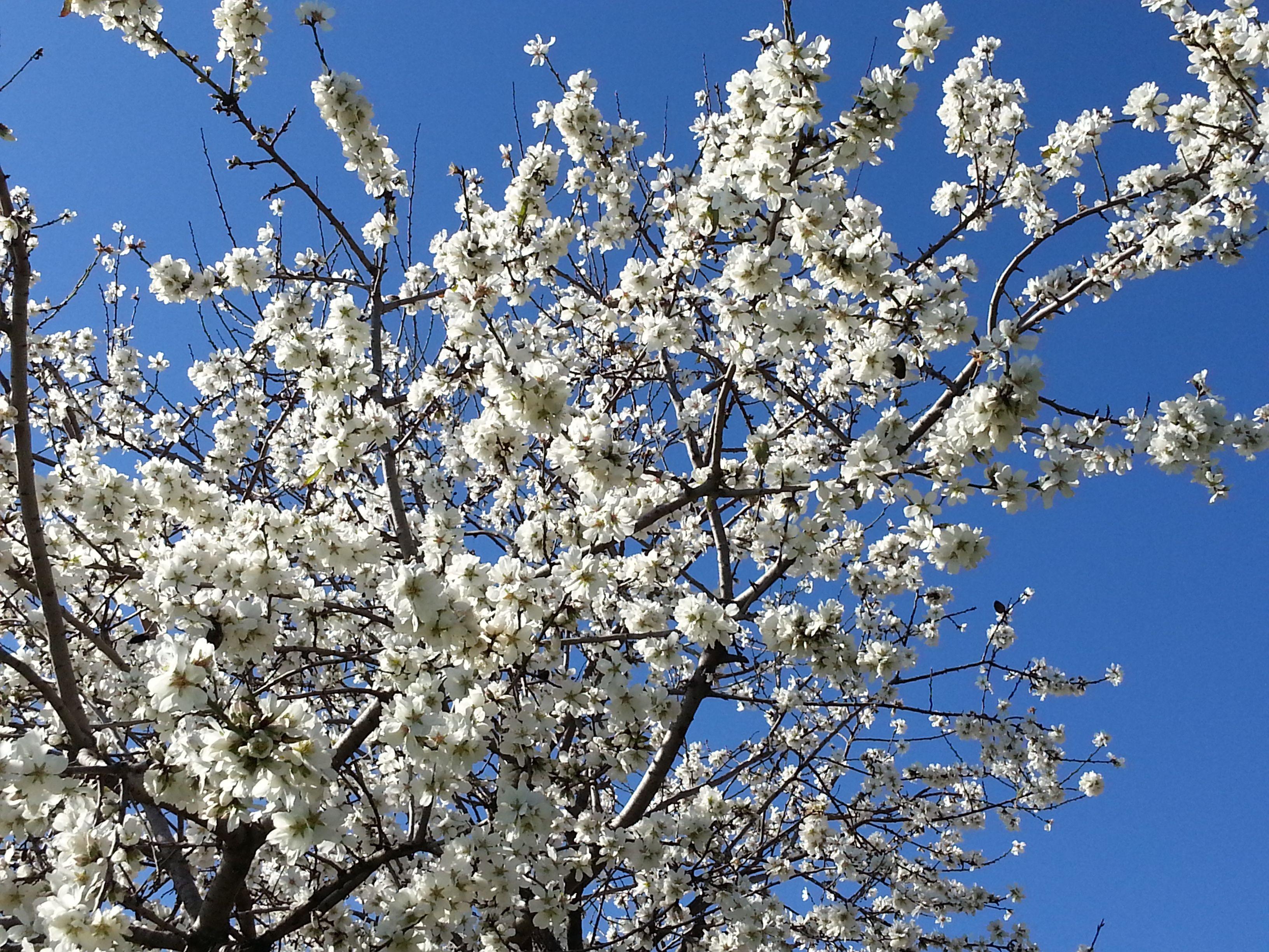 Flor de los almendros de Can Roldan