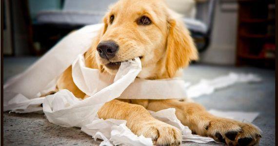 Perro Destructor Dogs Golden Labrador Dogs Baby Puppies