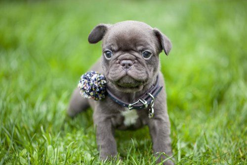 Chocolate French Bulldog Puppy Now Living In Washington French