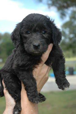 Ckc F1b Goldendoodle Puppies For Sale F1b Goldendoodle