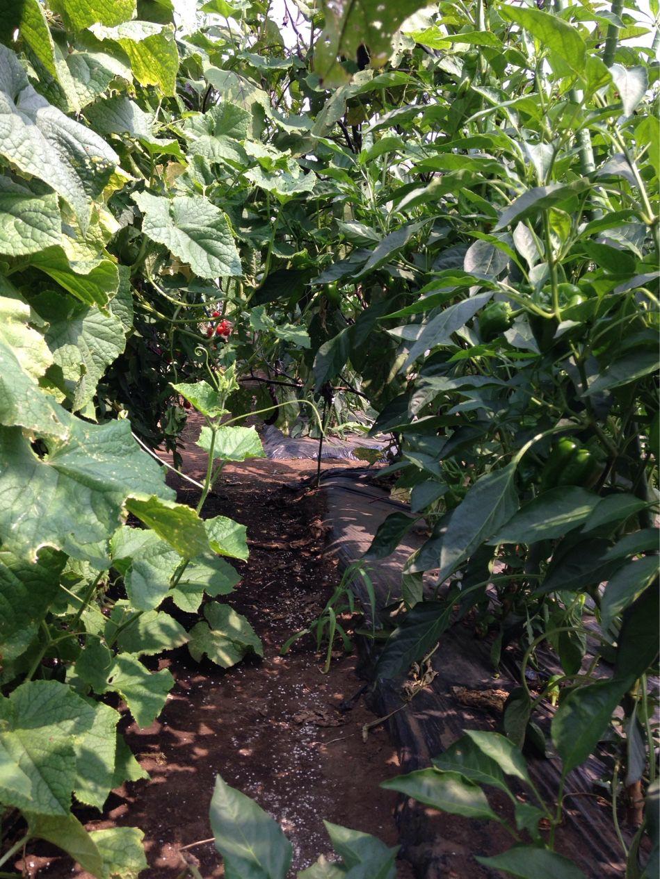 農園、あまりに暑くて、ナスの日陰に座り込みました。#熱中症 に気をつけよう、と真剣に思いました。