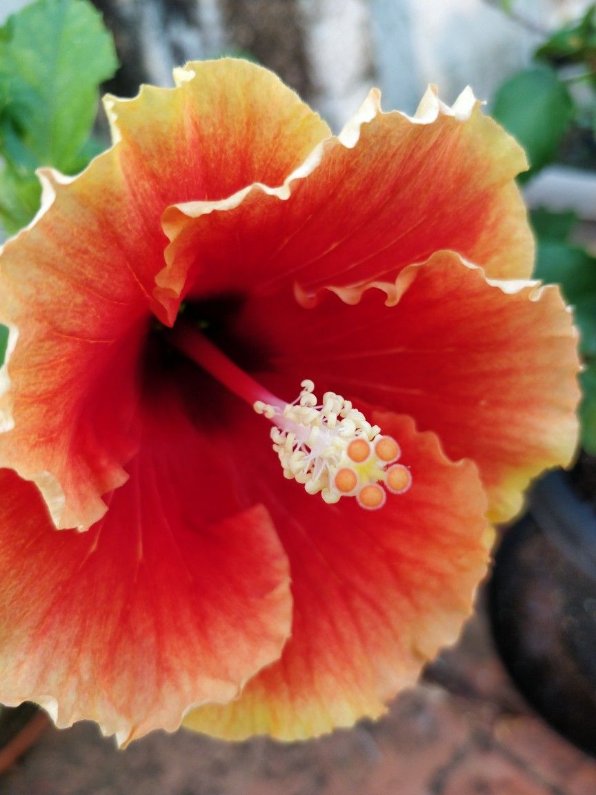 Pin by ghayur on beautiful flowers and roses pinterest hibiscus pin by ghayur on beautiful flowers and roses pinterest hibiscus flowers and hibiscus garden izmirmasajfo
