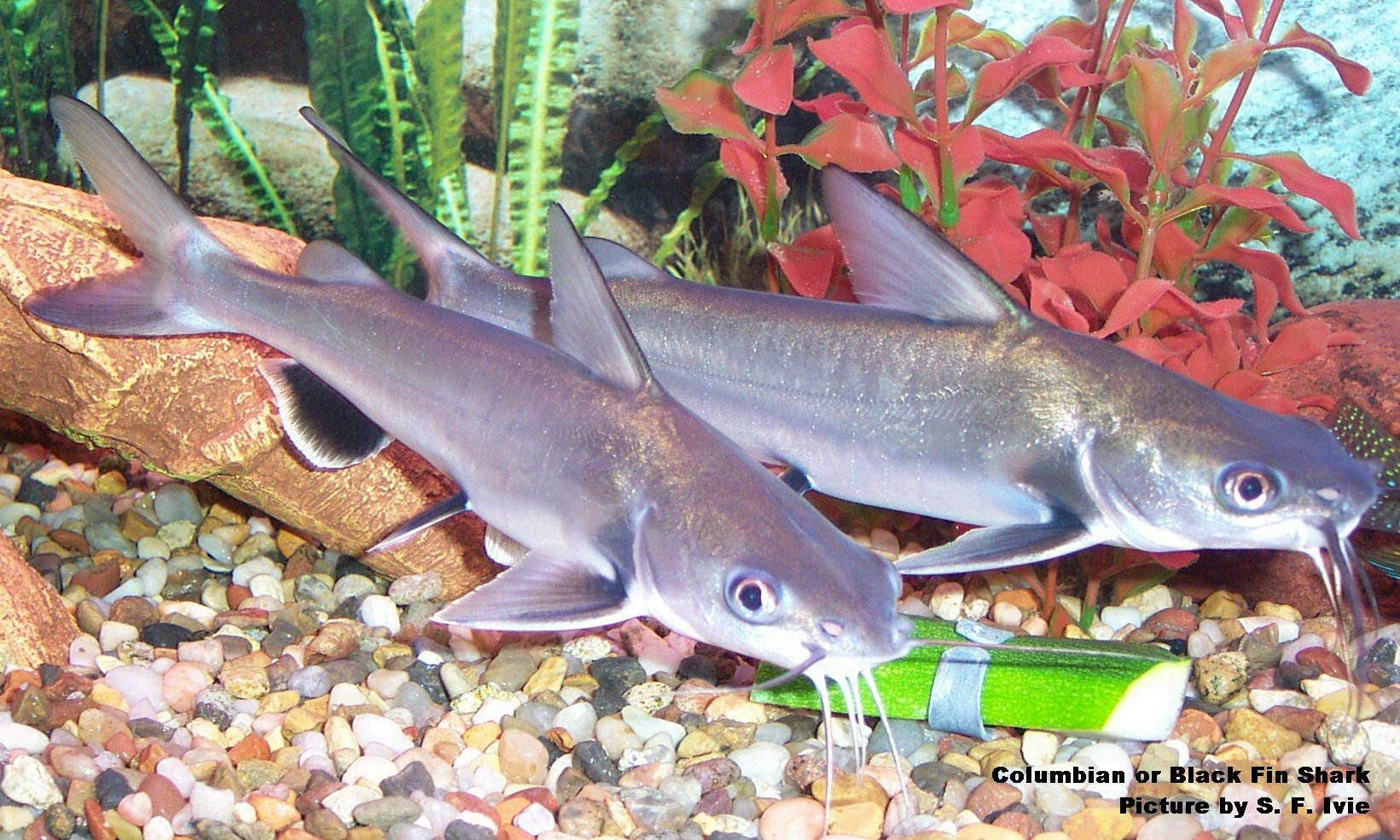 Black fin sharks fresh water aquarium fish pinterest for Shark fish tank