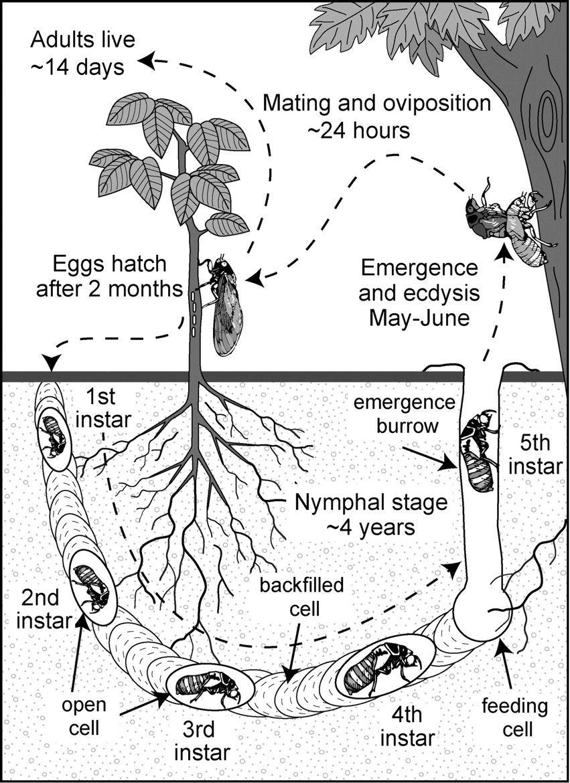 Locust Bug Life Cycle