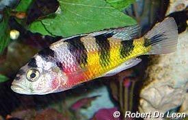 Astatotilapia Latifasciata Common Name Zebra Obliquidens Cichlids African Cichlids Cichlid Aquarium