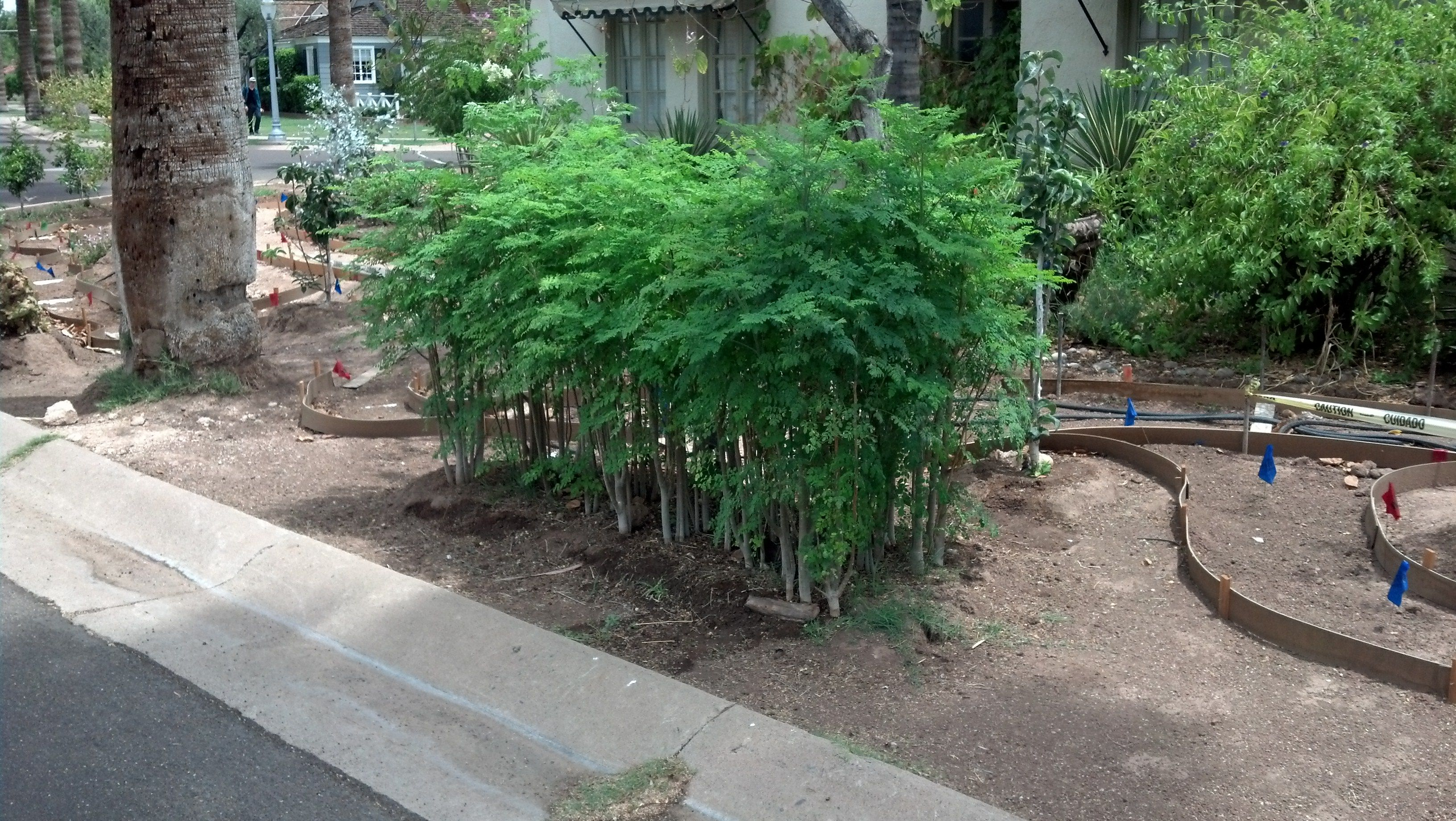 moringa trees cut short as an edible hedge to shade the garden