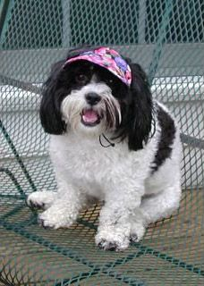 Sasha is a Shicon (Shi Tzu / Bichon mix) weighing 18 lbs. She loves her Small UDogU Hat.