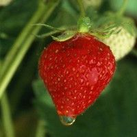 Report: No Way This Years Summer Strawberries Living Up To Hype | Full report at theonion.com