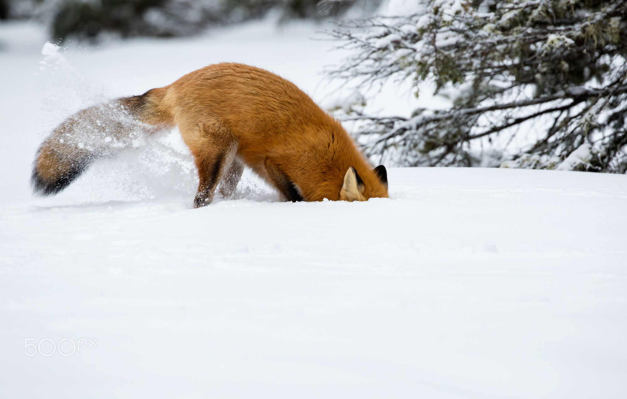 Red Fox by Steven Rose on 500px