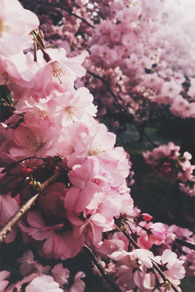 Cherry Blossom Aesthetic Pink