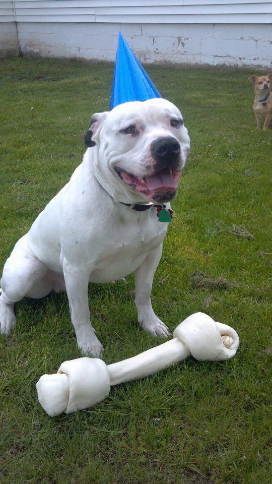 This Is My Very Handsome American Bulldog On His First Birthday This Is Manson Dogs Cute