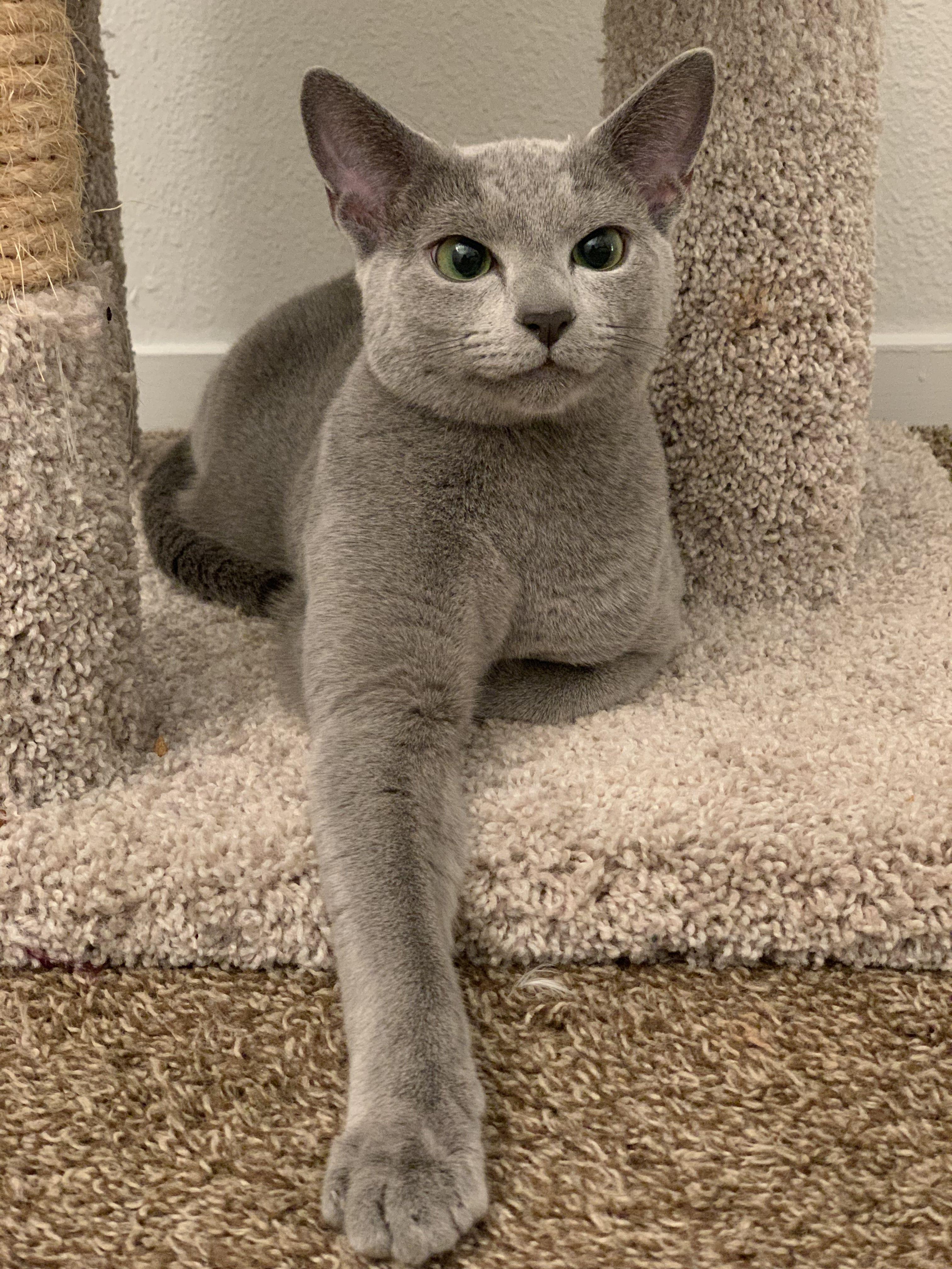 Russian blue cat Russian blue, Russian blue cat, Russian cat