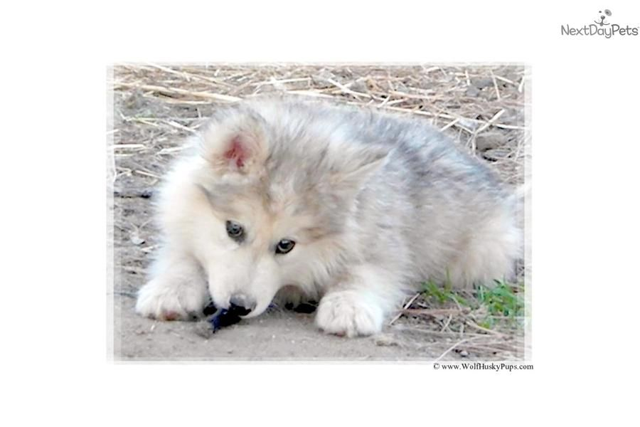 Giant Wolamute Wolf Puppies Due Wolf Dog Puppy Wolf Dog Wolf Hybrid Puppies
