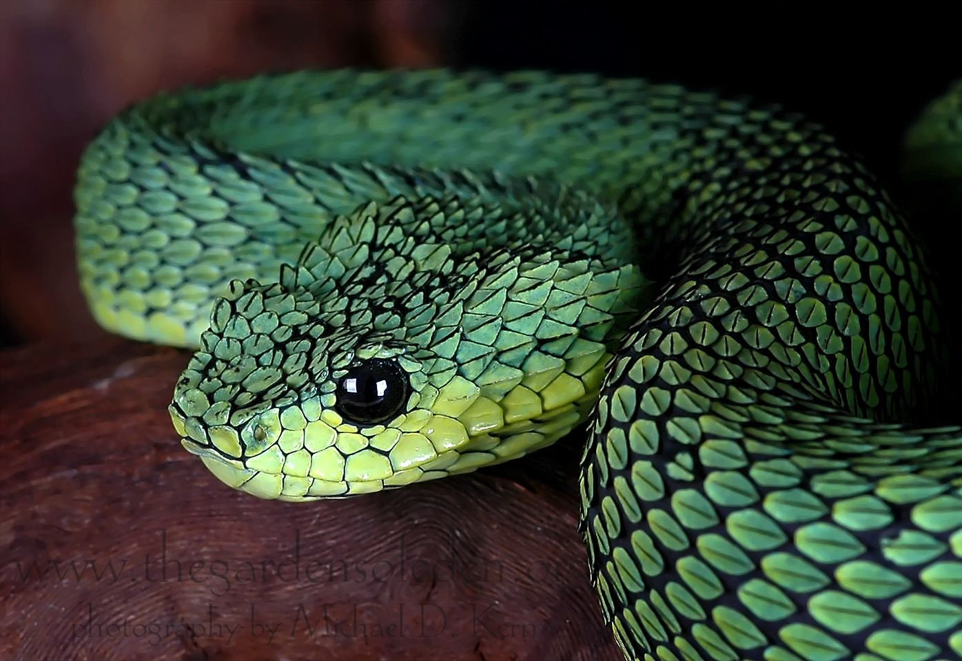 atheris chloechis west afican bush viper animals
