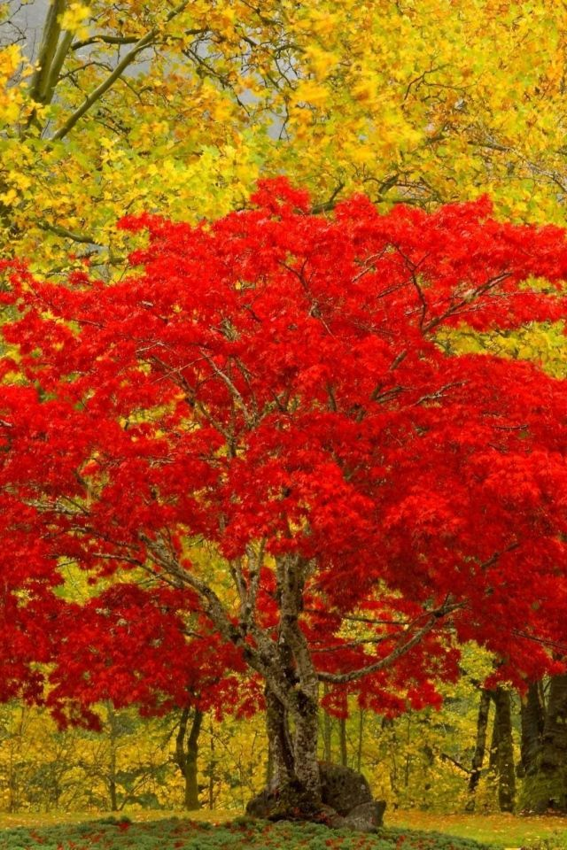 Download Wallpaper 640x960 Tree Red Autumn Unique Iphone 4s 4 Hd Background Tree Hd Wallpaper Autumn Trees Fall Pictures Iphone mixed hd wallpapers 640x960