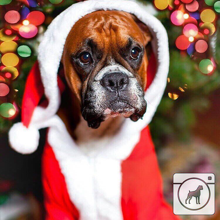 Xmas Boxer … Boxer dogs, Boxer dogs facts