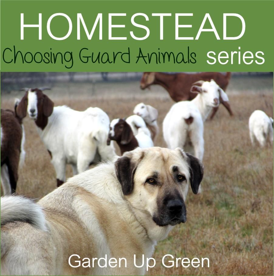 homestead series choosing guard animals for acreage backyard