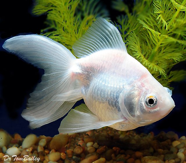 White Ryukin Ryukin Goldfish Fantail Goldfish Aquarium Fish