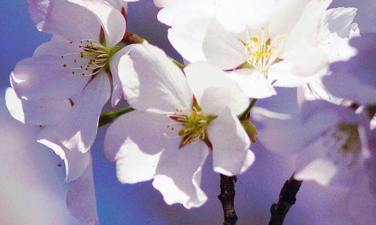Download Cherry Blossom Wallpaper Download High Quality HD