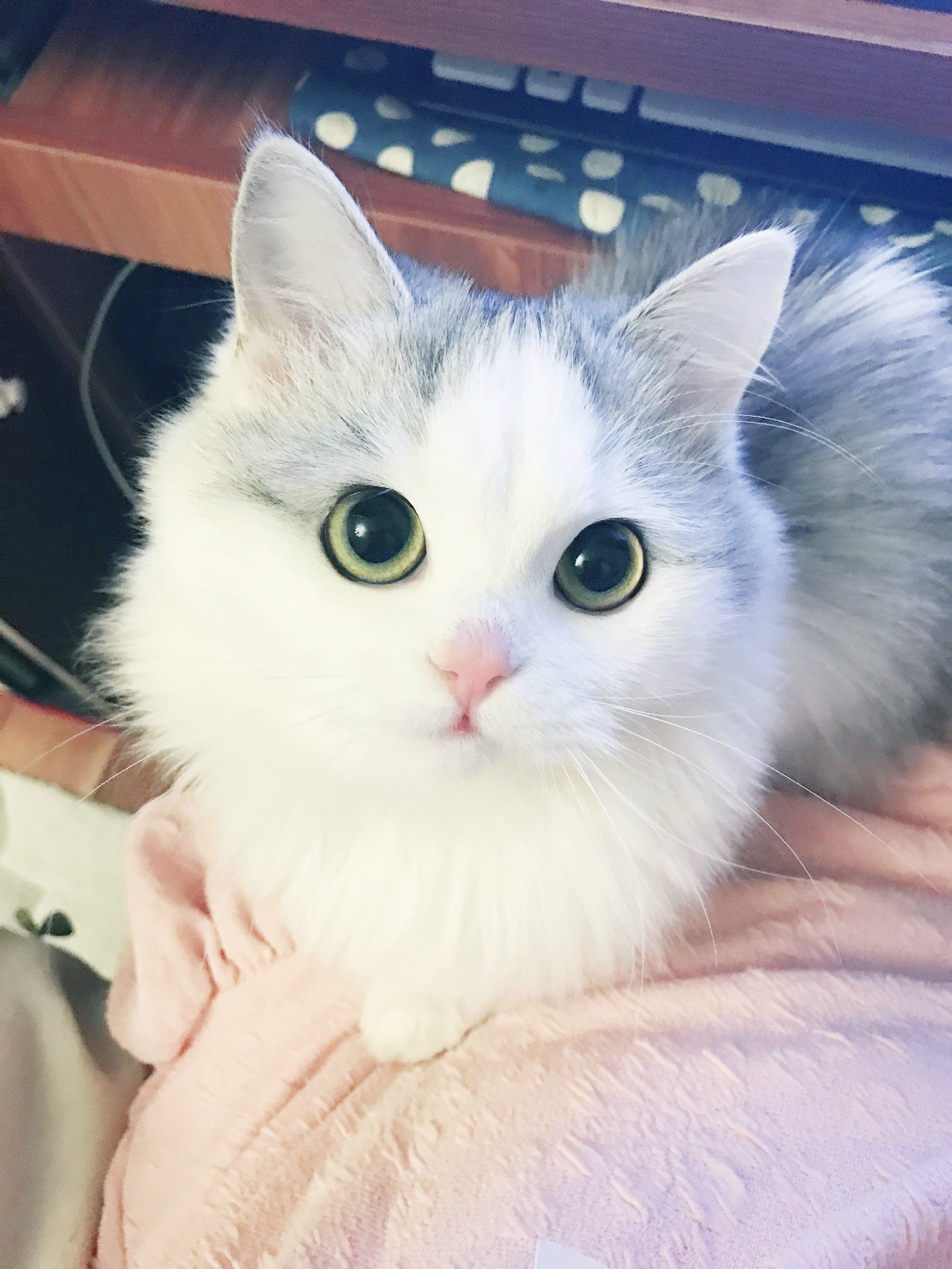 Pin By ลรฬลล ลββลร On Kitten Pinterest Cat Animal And - This is pam pam the kitten with heterochromia with hypnotic eyes you just cant stop looking at