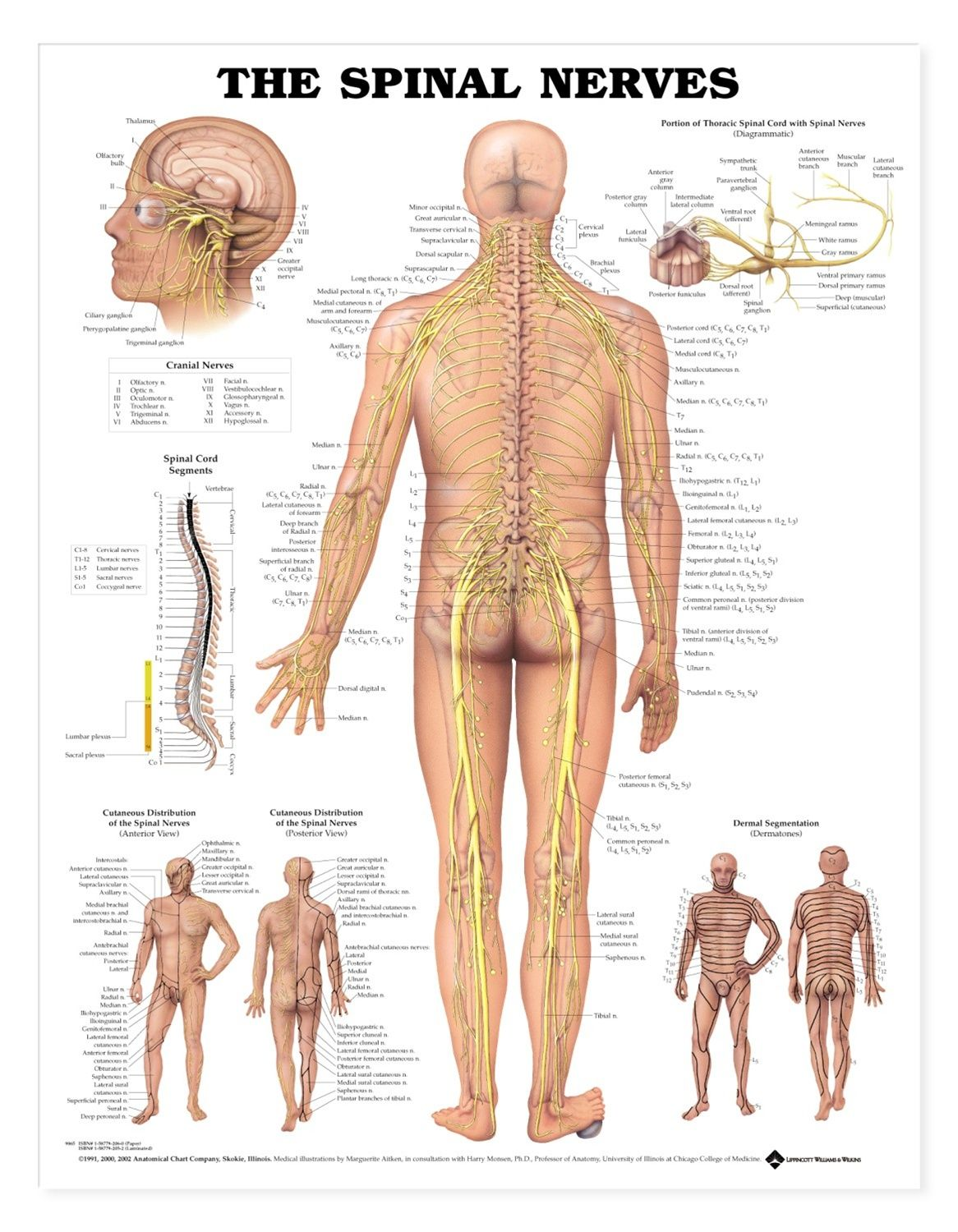 The Spinal Nerves Anatomical Chart - Styrene Plastic | Spinal nerve ...