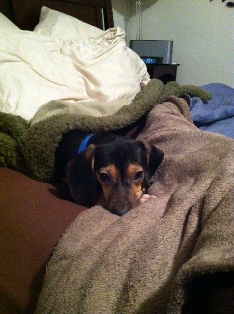 Little Lloyd Our Dachshund Beagle Mix Puppy Breath Beagle Mix