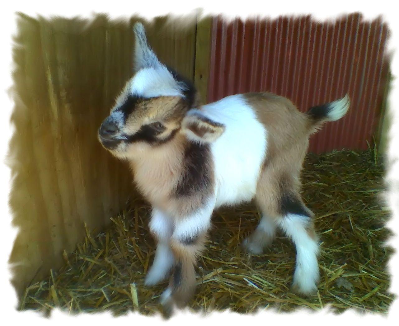 Tri-Colored Nigerian Dwarf Doeling   Cute animals, Pet ...