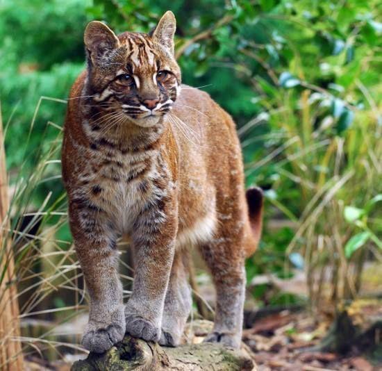 Gato Rojo de Borneo El gato de la bahía o gato de Borneo es uno de los felinos más raros y extraños del mundo, aunque se consideraba una especie extinguida; afortunadamente aun se encuentran como mínimo 6 especímenes.