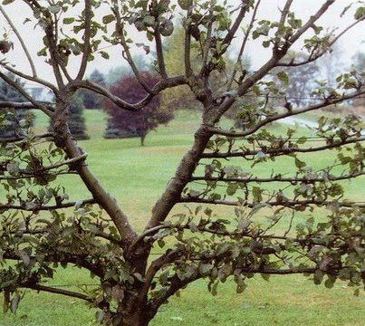 Heart shaped tree pruning! Clean Cut Tree Experts is one of the
