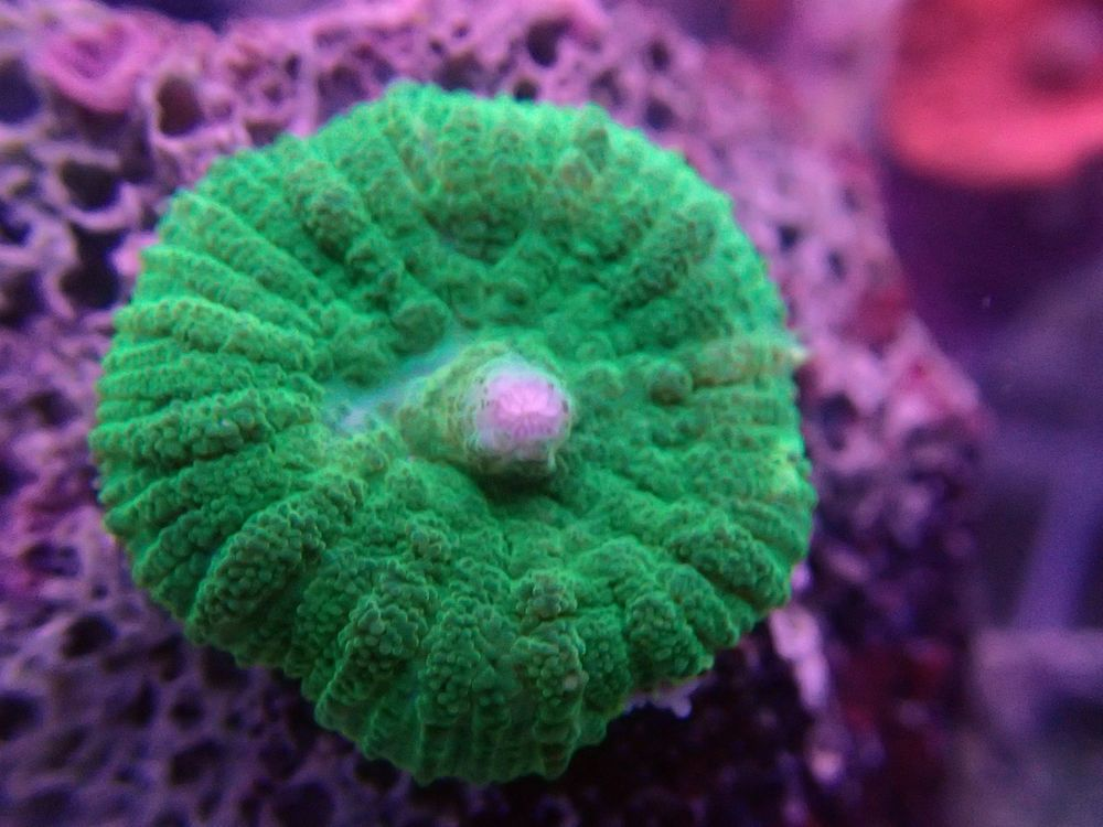 Australian Neon Green Mushroom Coral Easy To Keep Stunning Colour Coral Soft Corals Neon Green