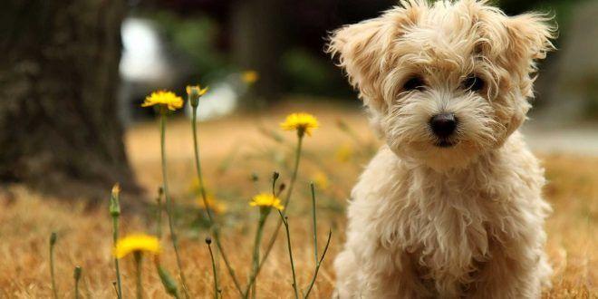 Shih Tzu Dog Wallpapers Teddy Bear Dog Cute Puppy Wallpaper