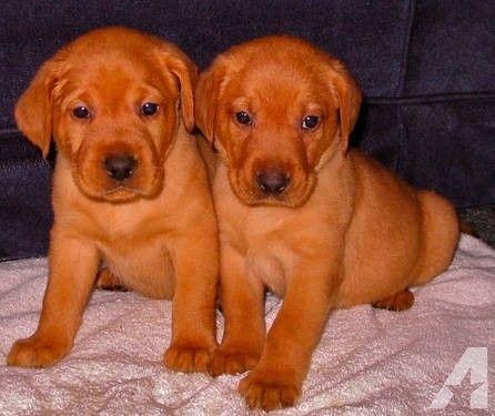 american fox red labrador | AKC OFA/PennHip Cert FOX-RED Labrador Retriever Puppies for sale in ...