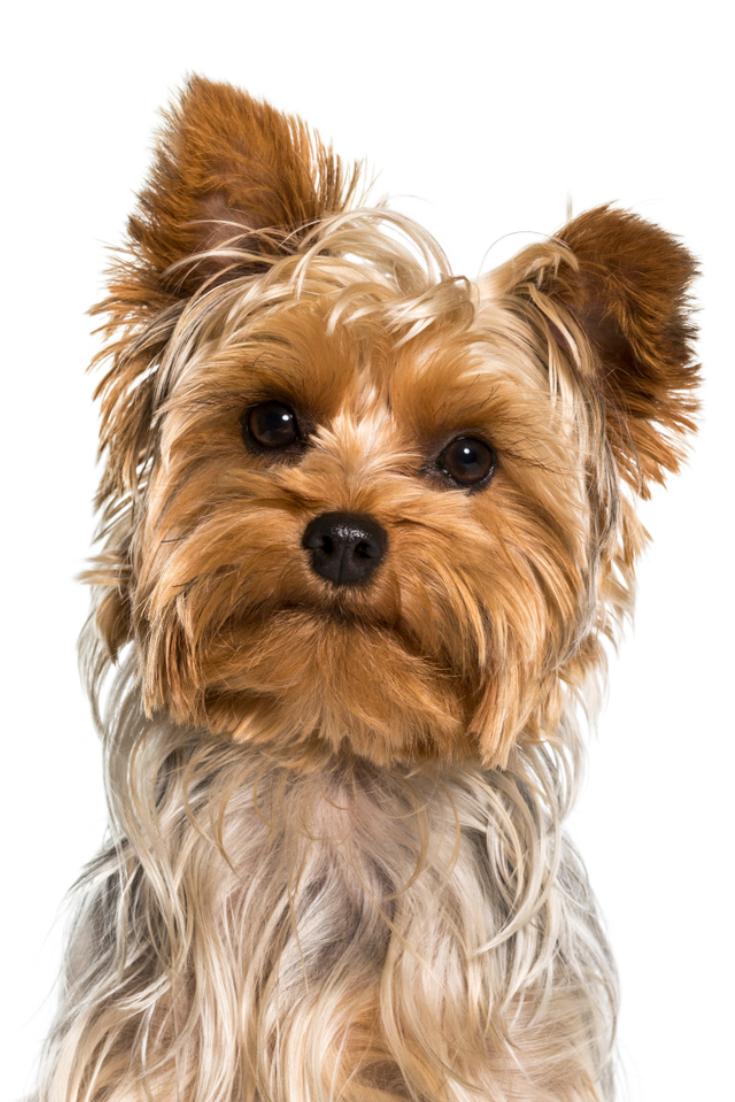 Yorkshire Terrier Dog In Portrait Against White Background Yorkshireterrier Yorkshire Terrier Yorkshire Terrier Dog Terrier