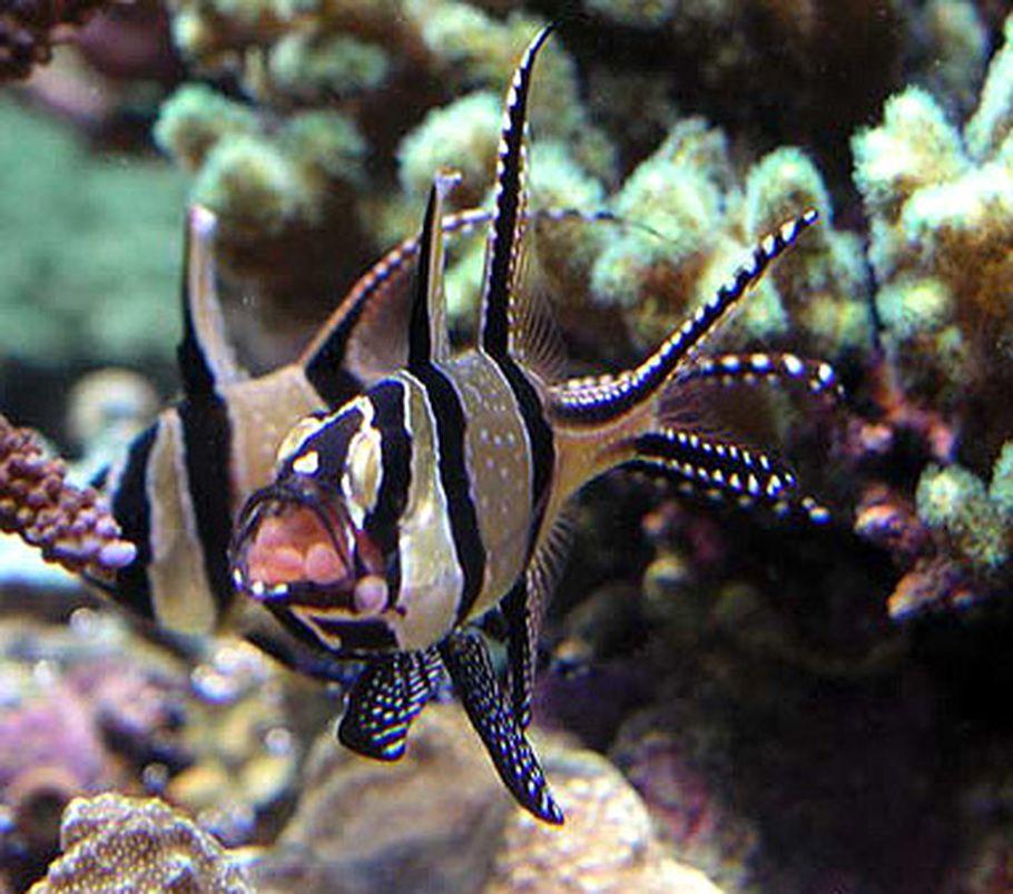 Banggai Cardinalfish restricted to the Banggai Islands