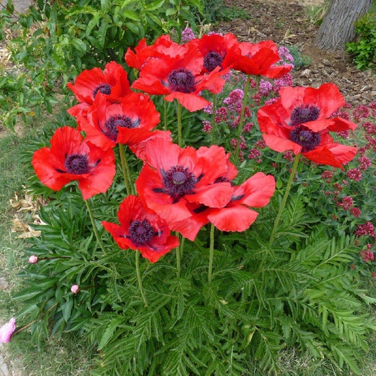 Poppy Seeds Oriental Poppy Beauty Of Livermere 250 Thru 10000 Etsy Flower Seeds Drought Tolerant Plants Papaver