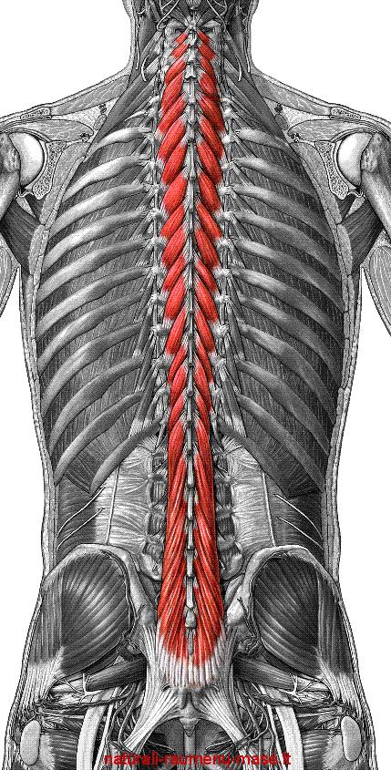 Multifidus Pictures Chiropractic Paraparaumu Discusses