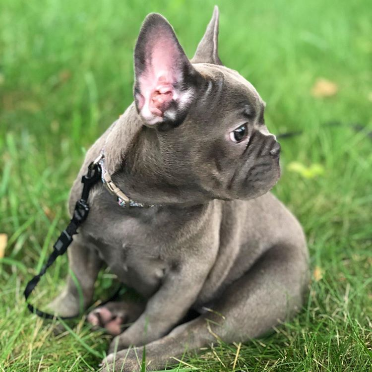 Pin By Ask Frankie The Frenchie On French Bulldog Puppies
